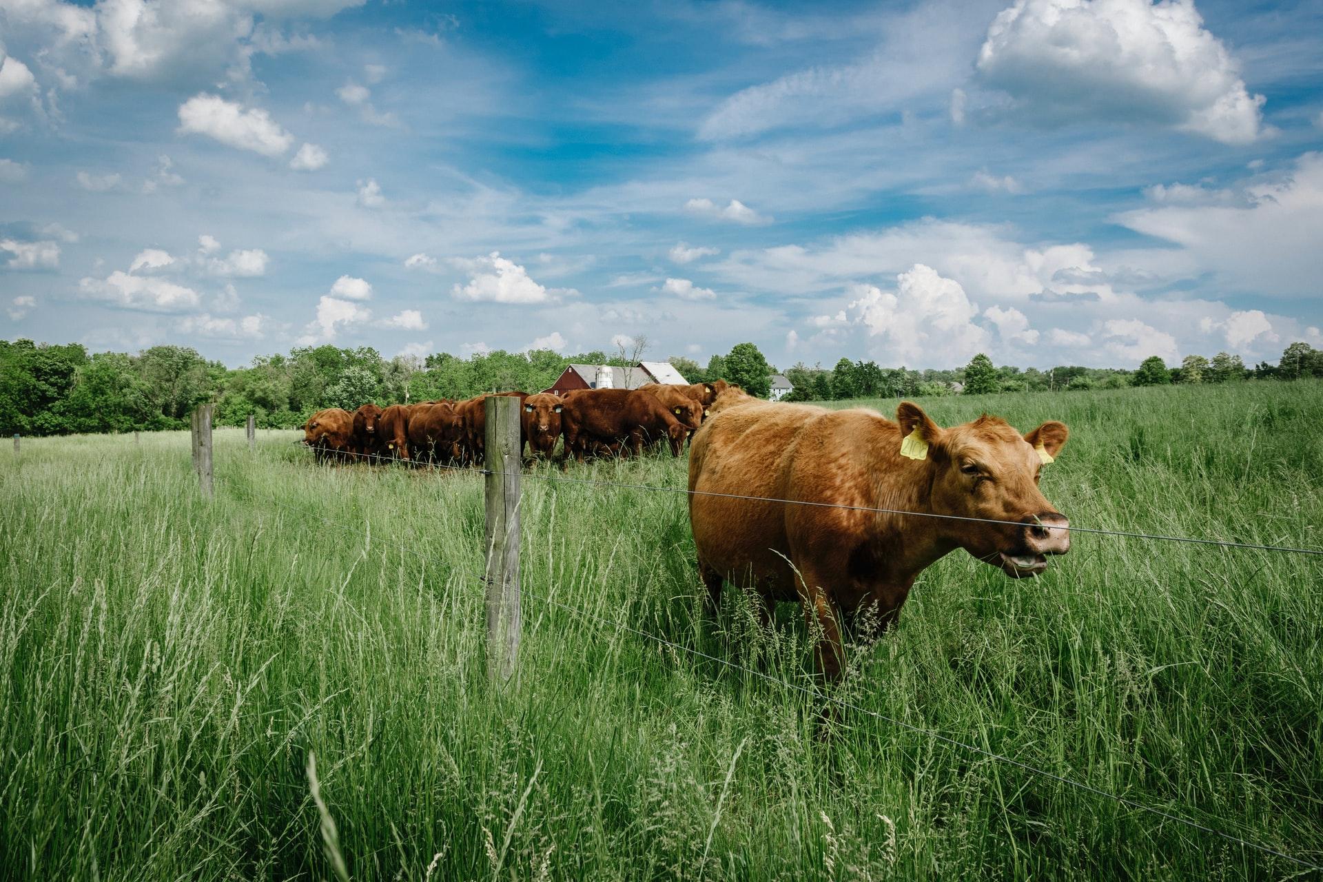 Eine Herde Kühe ist auf der grünen Weide. Eine Kuh steht mehr im Vordergrund.